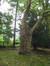 Platane à feuille d'érable – Uccle, Site de l'Observatoire royal, Avenue Circulaire, 1 –  08 Août 2008