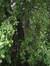 fagus sylvatica f. bornyensis – Ukkel, Landschap van de Koninklijke Observatorium, Ringlaan, 1 –  08 August 2008
