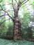 Platane à feuille d'érable – Uccle, Domaine Latour de Freins, Rue Engeland, 555 –  08 Août 2008