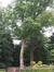 Chêne rouge d'Amérique – Auderghem, Drève du Prieuré, 3 –  23 Septembre 2008