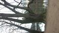 Tilleul à larges feuilles – Bruxelles, Bois de la Cambre –  10 Décembre 2020