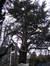 Cèdre bleu de l'Atlas – Watermael-Boitsfort, Parc de Jolymont, Rue Middelbourg, 70 –  26 Novembre 2009