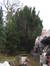 Ierse venijnboom