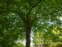 Platane à feuille d'érable – Ixelles, Campus de la Plaine, Boulevard du Triomphe –  14 Juillet 2014