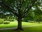 Cerisier du Japon – Ixelles, Campus de la Plaine, Boulevard du Triomphe –  14 Juillet 2014