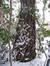 Platane à feuille d'érable – Ixelles, Chaussée de Boitsfort, 40 –  21 Décembre 2009