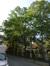 Gewone esdoorn – Brussel, Plantsoen van de Kleine Zavel, Kleine Zavel –  24 Juli 2014