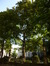 Erable plane – Bruxelles, Square du Petit Sablon , Place du Petit Sablon –  24 Juillet 2014