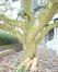 Magnolier de Soulange – Uccle, Avenue Winston Churchill, 135 –  15 Avril 2019