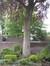 Hêtre pourpre – Ixelles, Chaussée de Vleurgat, 268 –  21 Mai 2010