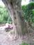 Erable à feuilles de frêne – Schaerbeek, Rue des Pavots, 50 –  31 Mai 2010