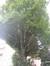 Carpinus betulus f. fastigiata – Uccle, Chaussée de Waterloo, 771 –  05 Août 2010