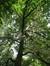 Castanea sativa f. aureomarginata – Uccle, Avenue Winston Churchill, 232 - 236 –  05 Août 2010