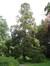 Japanse ceder