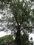 Frêne commun – Uccle, Rue Dodonée, 82 –  05 Août 2010
