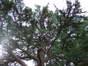 Cèdre de l'Himalaya – Uccle, Avenue Montjoie, 98 –  02 Septembre 2010