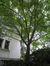 Erable palmé – Uccle, Bosveldweg, 65 –  05 Août 2010