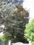 Hêtre pourpre – Uccle, Avenue de la Floride, 47 –  09 Août 2010