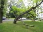 Catalpa commun – Uccle, Avenue Winston Churchill, 161-163 –  09 Août 2010