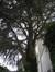 Cèdre bleu de l'Atlas – Uccle, Jardin privé rue Joseph Hazard , Rue Joseph Hazard, 27 –  09 Août 2010