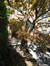 Erable palmé – Uccle, Avenue de la Floride, 25 –  10 Août 2010