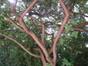 Pruikeboom – Ukkel, Montjoielaan, 245 –  20 August 2010