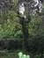 Frêne pleureur – Uccle, Avenue de la Floride, 9 –  27 Août 2010