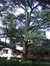 Cèdre bleu de l'Atlas – Uccle, Avenue Juliette, 13 –  03 Septembre 2010