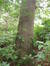 Chêne des marais – Uccle, Avenue Juliette, 13 –  03 Septembre 2010