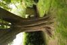 Erable champêtre – Anderlecht, Parc du Busselenberg, Rue Lieutenant Liedel –  11 Mai 2021