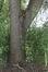 Salix babylonica 'Tortuosa',