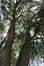 Salix babylonica 'Tortuosa' – Anderlecht, Quai d'Aa, 7a –  24 Mai 2018