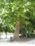 Platane à feuille d'érable – Bruxelles, Parc de Bruxelles –  30 Mai 2011