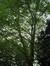 Platane à feuille d'érable – Bruxelles, Parc Solvay Sports, Avenue du Pérou, 80 –  24 Mai 2011