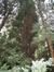 Calocedrus decurrens 'Columnaris' – Bruxelles, Parc Solvay Sports, Avenue du Pérou, 80 –  28 Avril 2011