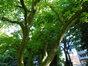 Magnolier de Soulange – Etterbeek, Avenue de Tervueren, 66 –  26 Mai 2017