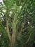 Erable champêtre – Bruxelles, Parc Solvay Sports, Avenue du Pérou, 80 –  28 Avril 2011