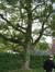 Acer platanoides f. schwedleri – Bruxelles, Parc Solvay Sports, Avenue du Pérou, 80 –  28 Avril 2011