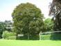 Acer platanoides f. schwedleri