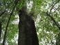 Acer pseudoplatanus 'Purpurascens' – Elsene, Collegestraat, 57 –  12 September 2011