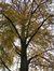 Hêtre pourpre – Molenbeek-Saint-Jean, Rue de la Sonatine, 83 –  24 Novembre 2011