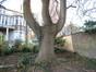 Ailante glanduleux – Schaerbeek, Boulevard Lambermont, 184-186 –  28 Novembre 2011