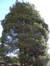 Cyprès de Sawara – Forest, Avenue Maréchal Joffre, 67 –  17 Janvier 2012