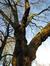 Platane à feuille d'érable – Jette, Bois du Poelbos –  27 Janvier 2012