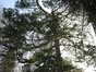 Pinus sp – Uccle, Avenue Hamoir, 45 –  08 Février 2012