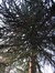 Araucaria du Chili – Uccle, Avenue Hamoir, 43 –  08 Février 2012