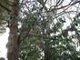 Cerisier du Portugal – Uccle, Avenue Hamoir, 43 –  08 Février 2012
