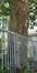 Platane à feuille d'érable – Bruxelles, Rue Félix Sterckx, 18 –  12 Août 2019