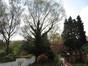 Bouleau pubescent, Jardin de la maison Durieu