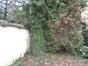 Bouleau pubescent – Molenbeek-Saint-Jean, Jardin de la maison Durieu, Rue de la Fraîcheur, 26 –  20 Avril 2012